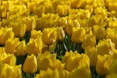 Tulpenbloemen, kruidachtige palntbloomin in de lente stock foto