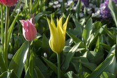 Tulpenbloemen met stammen De lente bloeiende installaties royalty-vrije stock afbeeldingen