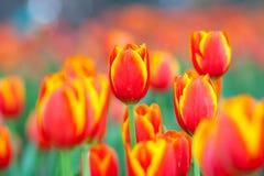 Tulpenblume lizenzfreies stockfoto