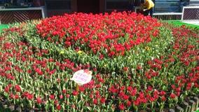 Tulpenblume in Hualien-Park lizenzfreie stockfotografie