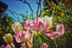 Tulpenblume mit Grünpflanzehintergrund stockbild