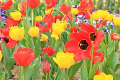 Tulpenblume in voller Blüte im Garten Stockfotografie