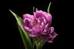 Tulpenblume - wenden Sie auf einem schwarzen Hintergrund ein Stockbild