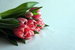 Tulpenblumen Stockfotos