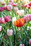 Tulpenblumen im Garten Lizenzfreie Stockfotos
