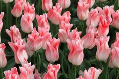 Tulpenblumen, keukenhof Garten Holland Stockfotografie