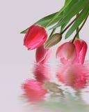 Tulpenblumen reflektiert in einem Wasser Stockbild