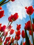 Tulpenblumen und Sonneneruption Stockfotografie