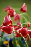 Tulpenblumenbeet Stockfotos