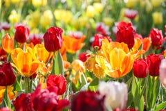 Tulpenblumenfeld mit besprühen Stockfotos