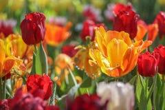 Tulpenblumenfeld mit besprühen Stockfotografie