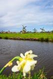 Tulpenfeld adnd alte Mühlen im netherland Stockfotografie