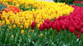 Tulpenfeld in den Niederlanden stock footage