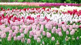 Tulpenfeld in den Niederlanden stock video