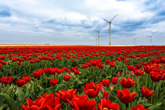 Tulpenfeld im Frühjahr Lizenzfreie Stockbilder