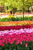 Tulpenfeld in Keukenhof-Gärten, Lisse, die Niederlande lizenzfreie stockfotografie