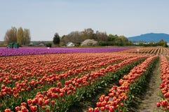 Tulpenfeld mit den purpurroten und roten Blumen stockfoto