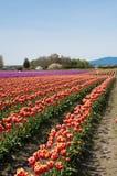 Tulpenfeld mit den purpurroten und roten Blumen stockbilder