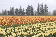 Tulpenfeld mit mehrfachen Arten von Tulpen mit verschiedenen Farben stockbild