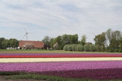 Tulpenfelder Lizenzfreie Stockfotografie