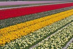 Tulpenfelder Stockfotografie
