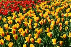 Tulpenfelder als Hintergrund Lizenzfreie Stockfotos