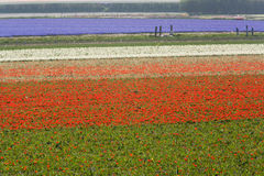 Tulpenfelder im Frühjahr Stockfotografie