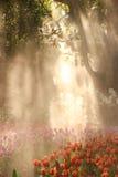 Tulpenfeldgarten mit Sonnenstrahlnlicht Stockfotos
