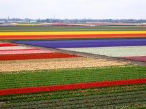 Tulpenfeldmuster Stockfoto