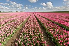 Tulpengebied met blauwe hemel Stock Afbeeldingen