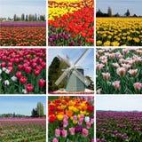 Tulpengebied met multicolored bloemen binnen collage, tulpenfestival Stock Foto