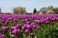 Tulpengebied met purpere bloemen Royalty-vrije Stock Foto's
