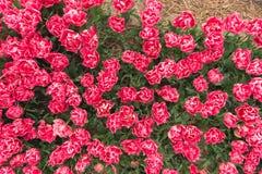 Tulpengebied in Noord-Holland Royalty-vrije Stock Afbeelding
