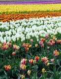 Tulpengebied in Skagit Tulip Festival in Washington Stock Foto
