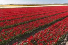 Tulpengebieden Royalty-vrije Stock Foto