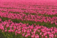 Tulpengebieden Stock Afbeeldingen