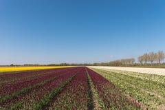 Tulpengebieden Stock Foto