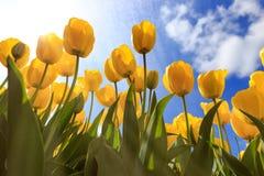 Tulpengebieden dichtbij Amsterdam stock foto's