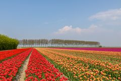 Tulpengebieden in Holland op een mooie de lentedag royalty-vrije stock foto's