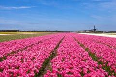 Tulpengebieden met een windmolen Stock Afbeeldingen