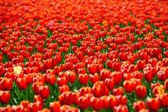 Tulpengebieden tijdens de lente Stock Afbeeldingen