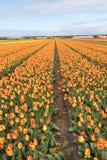 Tulpengebieden van Bollenstreek, Zuid-Holland Stock Foto's