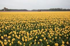 Tulpengebieden van Bollenstreek, Zuid-Holland, Nederland stock foto