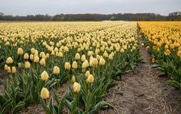 Tulpengebieden van Bollenstreek, Zuid-Holland, Nederland stock afbeeldingen