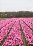 Tulpengebieden van Bollenstreek, Zuid-Holland, Nederland Royalty-vrije Stock Afbeeldingen