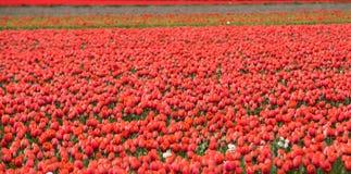 Tulpengebieden van Bollenstreek, Zuid-Holland, Nederland Royalty-vrije Stock Foto's