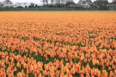 Tulpengebieden van Bollenstreek, Zuid-Holland, Nederland Royalty-vrije Stock Foto