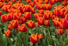Tulpengebieden van Bollenstreek, Zuid-Holland, Nederland stock foto's