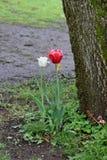 Tulpeninstallaties Royalty-vrije Stock Afbeeldingen