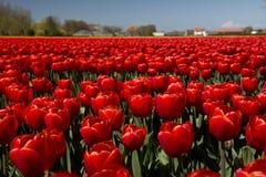 Tulpenkultur Stockfoto